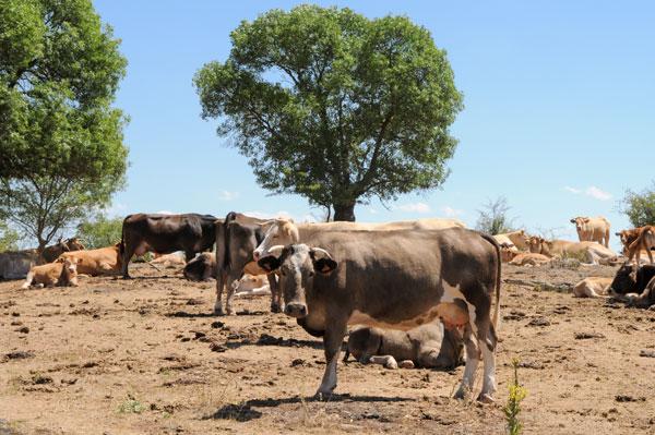 La Junta comienza a pagar 7 millones de euros de anticipo de la ayuda asociada al vacuno de leche