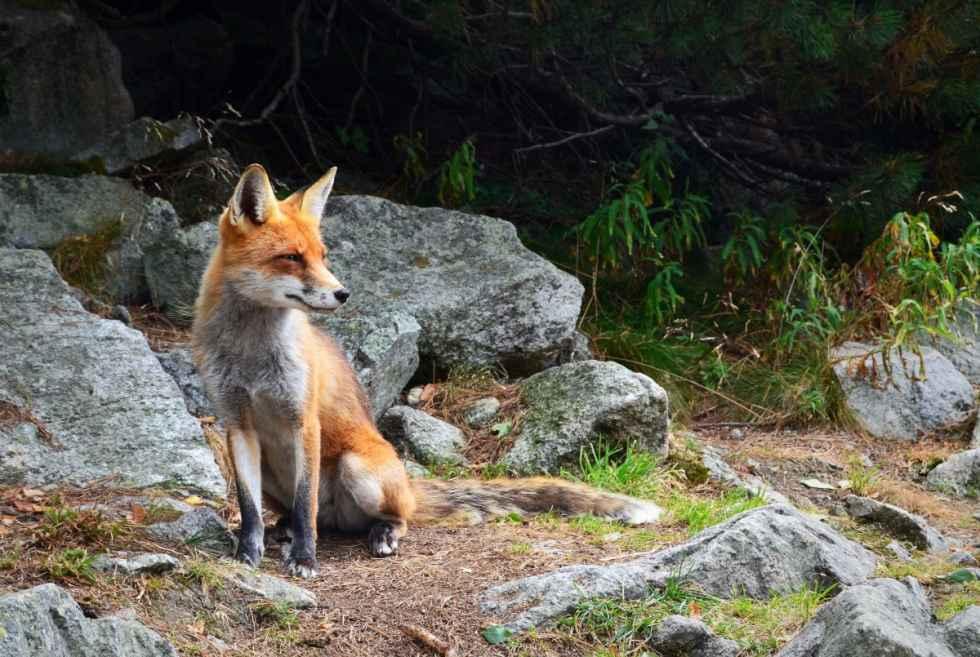 Investigado un vecino de San Leonardo por capturar un zorro con lazo
