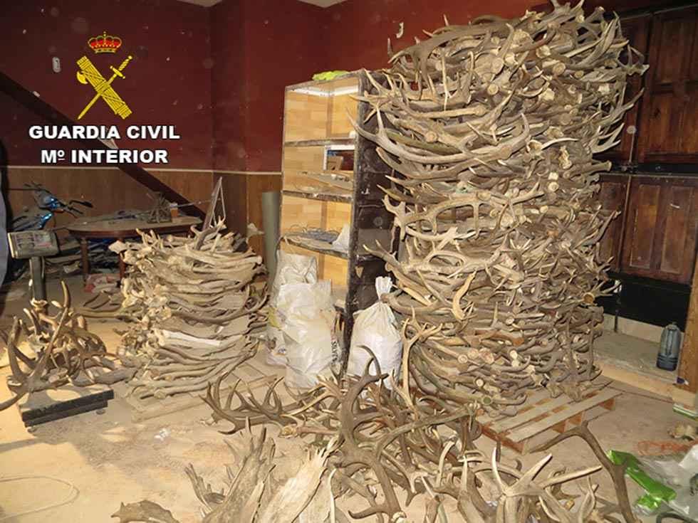 Sorianos perjudicados por compra de desmogues de ciervo de forma fraudulenta