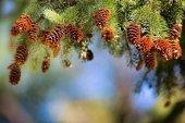 Ensayos para luchar contra la chinche de la piña de pino piñonero