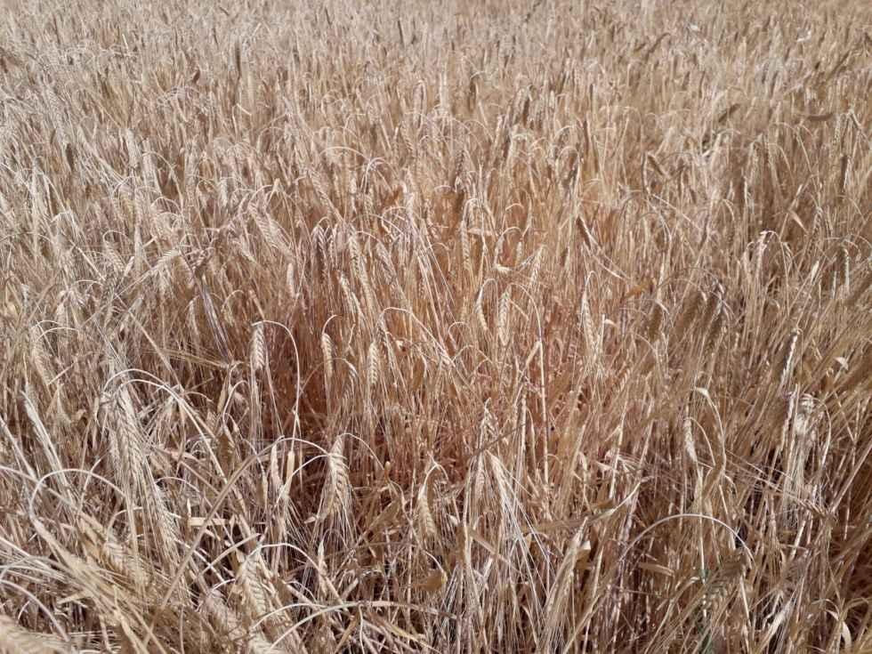 Agroseguro inicia el pago de las indemnizaciones por sequía en cereales