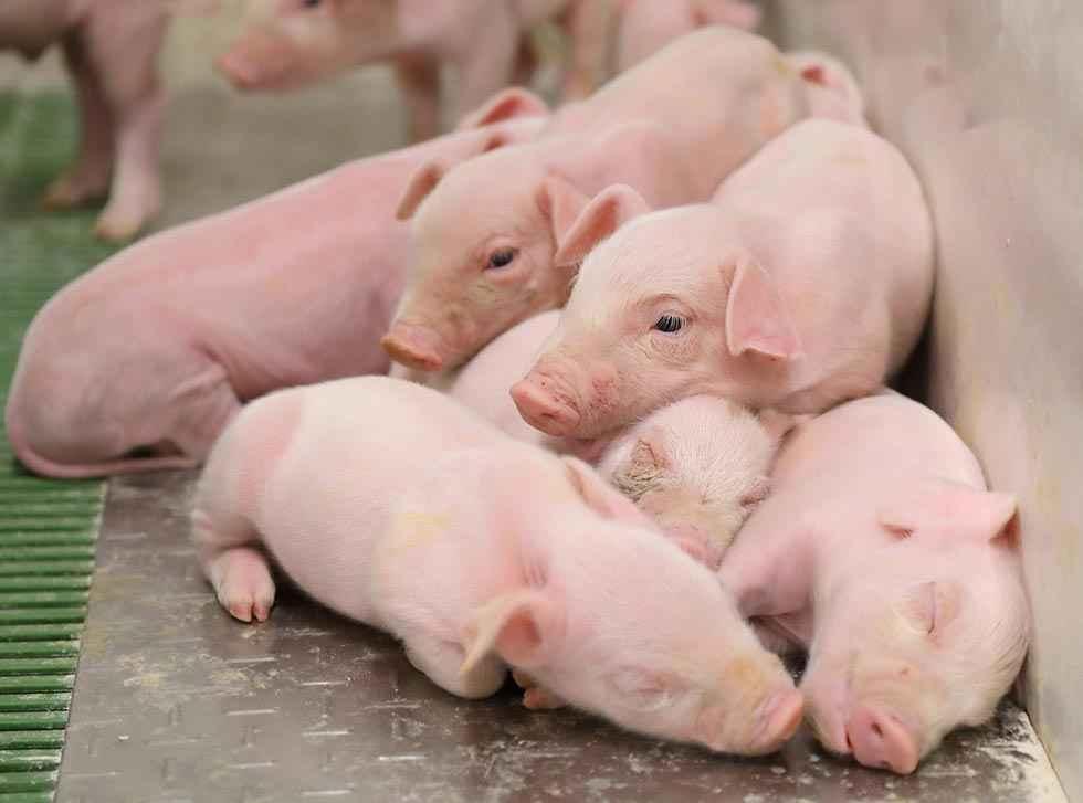 """Máxima calificación para ICPOR en certificado """"Bienestar animal y bioseguridad"""""""