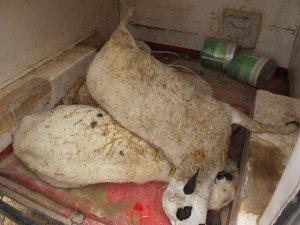 Localizados 83 cadáveres de ganado ovino en Torrubia de Soria