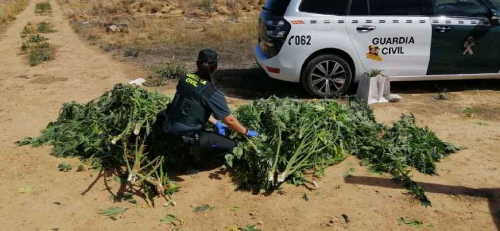 Desmontada una plantación de marihuana en Almazán