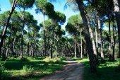 Investigadores del campus investigan cómo distinguir especies de pino