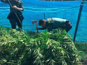 Detenidas tres personas por cultivar marihuana en Guijosa