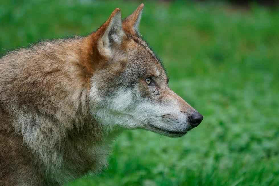 La Junta autoriza los cupos de caza del lobo al norte del Duero