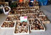 Ya se han decomisado 2.500 kilogramos de setas