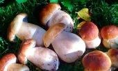 Vinuesa se cita con la XVI Jornadas Micológicas Gastronómicas