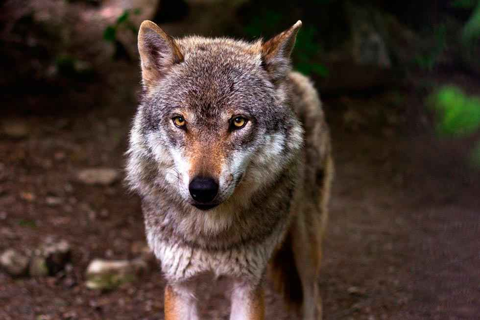 ASDEN pide plan regional para conservar el lobo