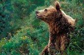 Proyecto de radiomarcaje del oso pardo