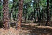 Almazán licita los aprovechamientos de madera para 2020