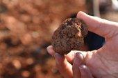 La trufa negra: un cultivo alternativo que puede ser rentable