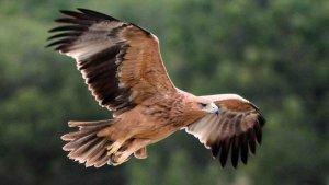 El águila imperial ibérica se extiende en la Comunidad