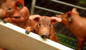 ICPOR garantiza la actividad de sus granjas