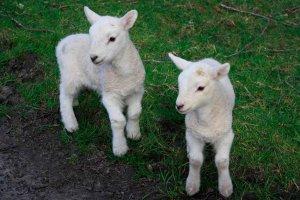 COAG Soria alerta de incidencia de COVID en ganadería