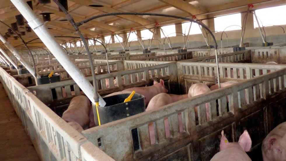 Las granjas porcinas, a salvo del COVID 19