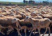 Coag: las ayudas a ovino dejan fuera a la mayoría de ganaderos