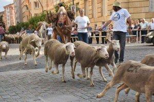 Los veterinarios piden facilitar el esquileo de las ovejas