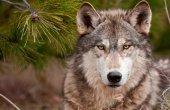 ASDEN aplaude inclusión de lobo como de Protección Especial