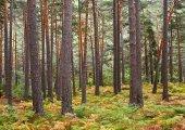 Licitación de aprovechamiento forestal en Cabrejas del Pinar