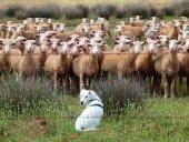 El PSOE defiende las ayudas del Gobierno a ovino y caprino