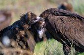 Dos nuevos buitres negros en la Sierra de la Demanda
