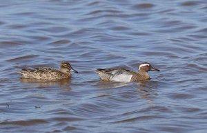 Dos aves acuáticas se reproducen en humedales temporales