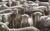 Solicitado un programa específico de apoyo al ovino en PAC