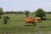 Herido grave tras ser embestido por vacas en Valonsadero