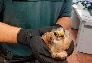 La Guardia Civil recupera un cernícalo herido