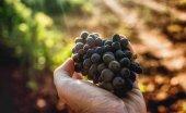 Los viticultores se acogen a ayuda para cosecha en verde
