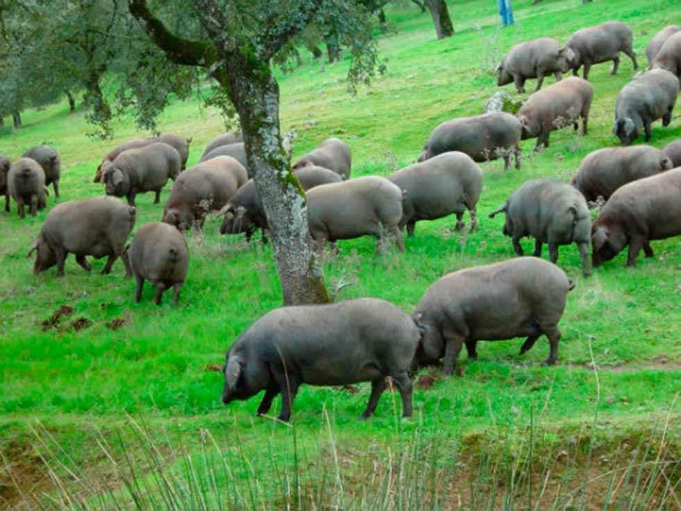 Ayudas estatales para los productores de porcino ibérico