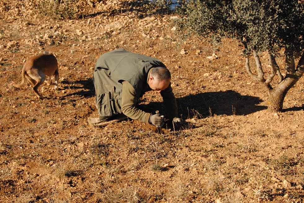 Diputación convoca las ayudas para el cultivo de trufa
