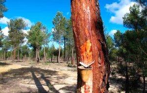 Fallece un trabajador cuando talaba un pino