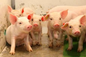 ICPOR supera el control anual de sus granjas