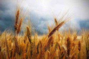 Terminan plazos para seguro de cultivos herbáceos