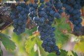 Crece la producción de uva de vino con seguro agrario