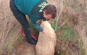 Rescatan una oveja atrapada en alcantarilla