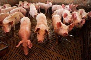 Formación para 14 empleos en granjas de porcino