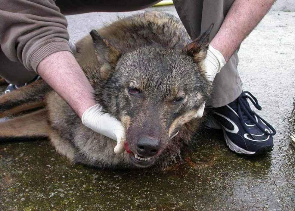La protección del lobo llega a los tribunales