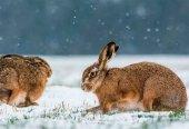 Investigados por cazar liebres con galgos pese a nieve