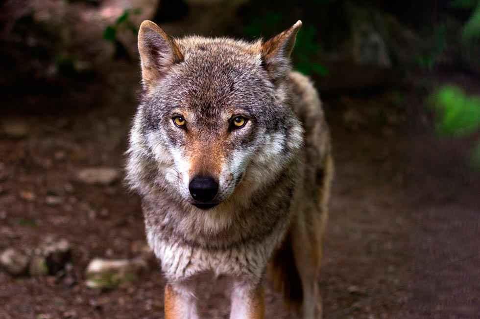 Los veterinarios reclaman reconsiderar protección del lobo