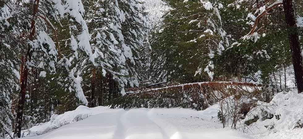 La nieve troncha pinos en la subida a Castroviejo