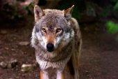 COAG anima a alegar contra protección total del lobo