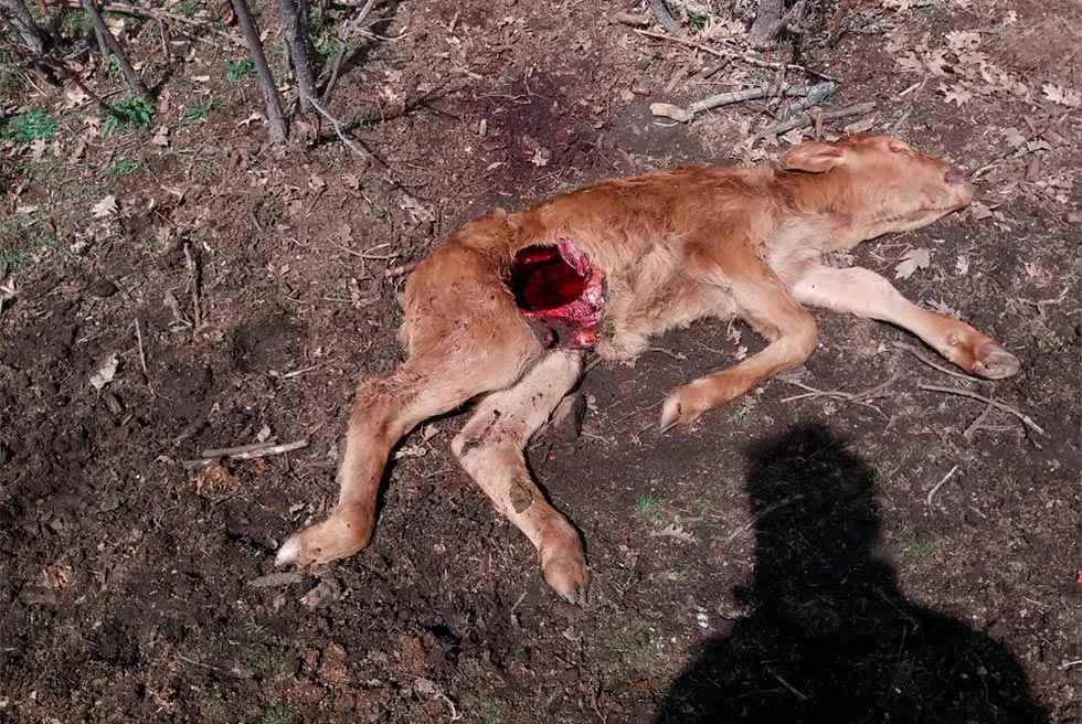 ASAJA advierte de otros peligros de protección del lobo