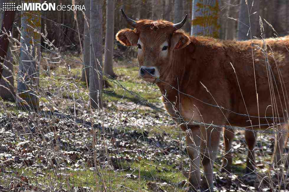 La Comunidad, libre de brucelosis bovina