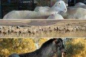 Oficialmente indemne de brucelosis ovina y caprina