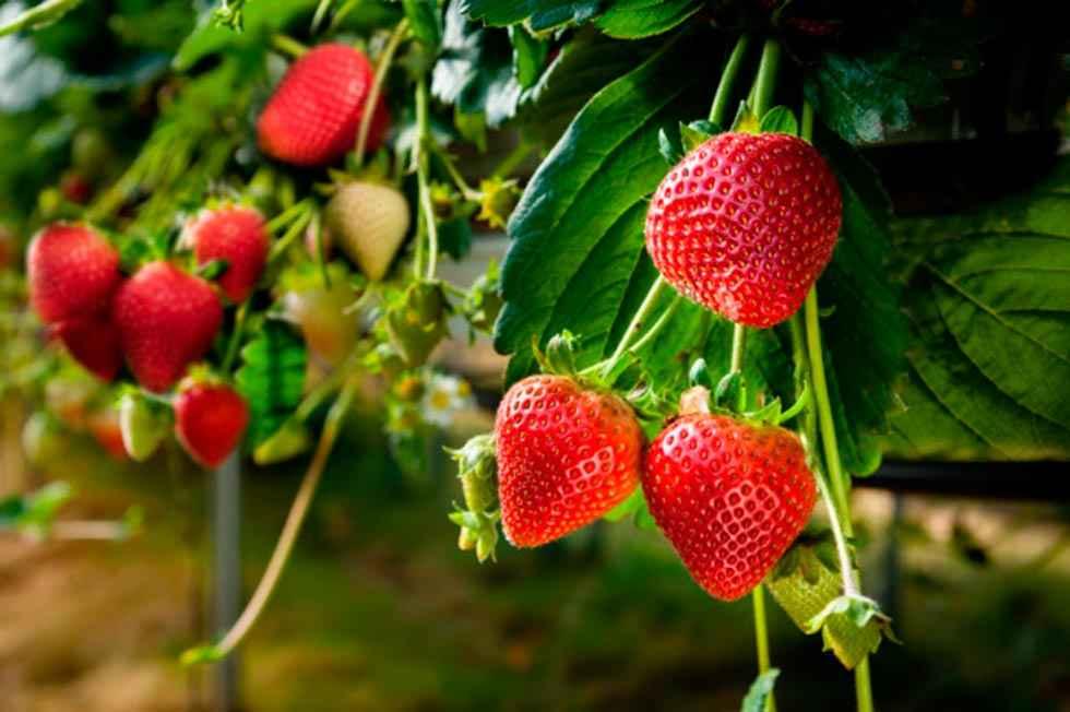 Primera comunidad en producción de planta de fresa