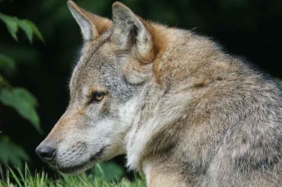 La Junta suma más apoyos para gestión actual del lobo